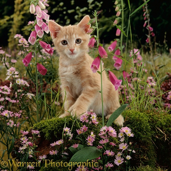 Cream Burmese-cross cat, Toffee, among Foxgloves