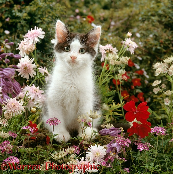 Black-and-white kitten, 9 weeks old, among flowers