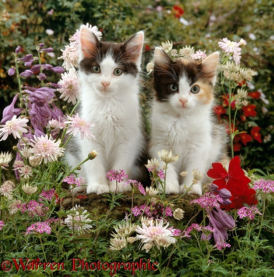 Black-and-white kittens, 9 weeks old, among flowers