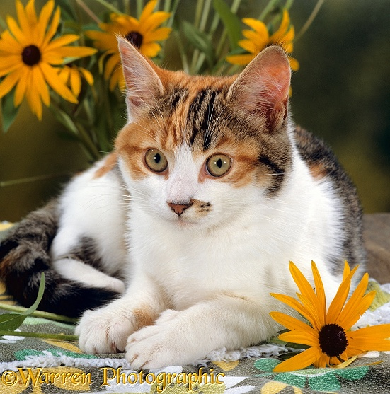 Tabby-tortoiseshell-and-white female cat, 4 months old, lying on garden table with Coneflowers