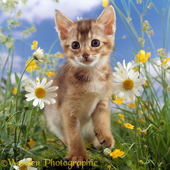 Abyssinian kitten, 6 weeks old, among Ox-eye daisies and Buttercups