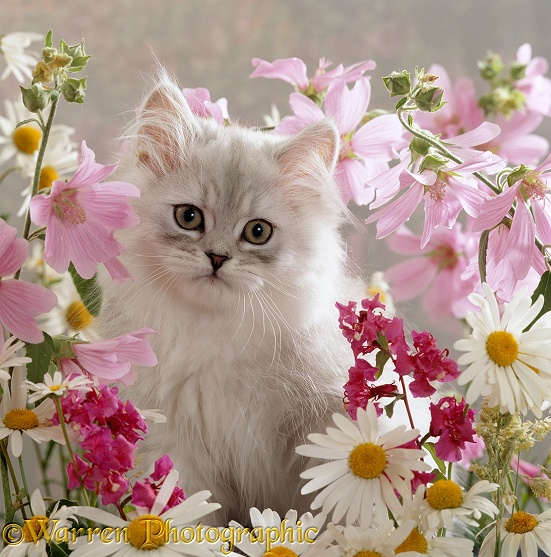 Pale silver long-haired kitten among mallows and ox-eye daisies