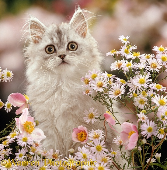 Silver tabby (Chinchilla x Persian) kitten among Michaelmas daisies and Japanese Anemones