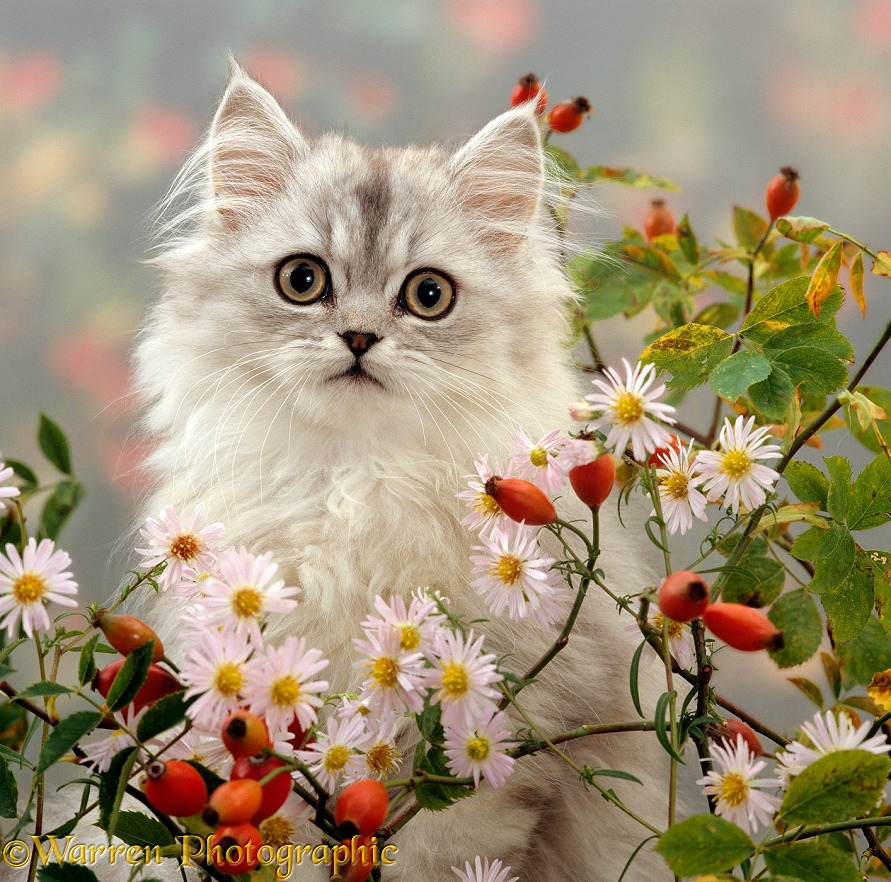 Silver tabby (Chinchilla x Persian) kitten among Michaelmas daisies and Rose hips