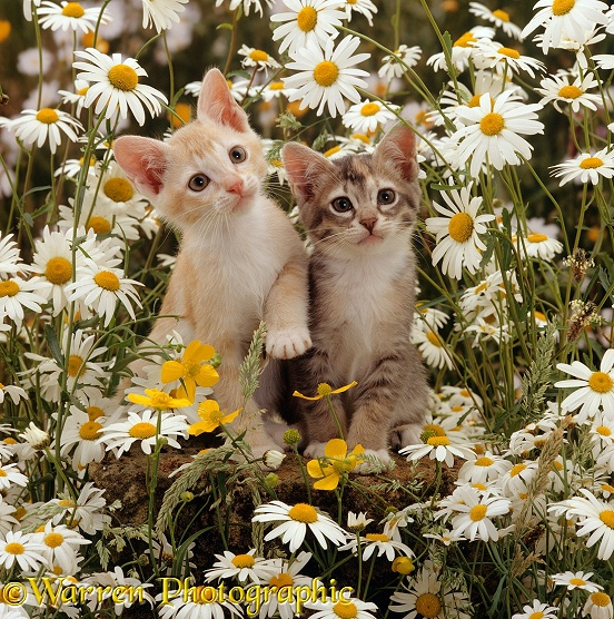 Burmese-cross kittens, 8 weeks old, among ox-eye daisies and buttercups