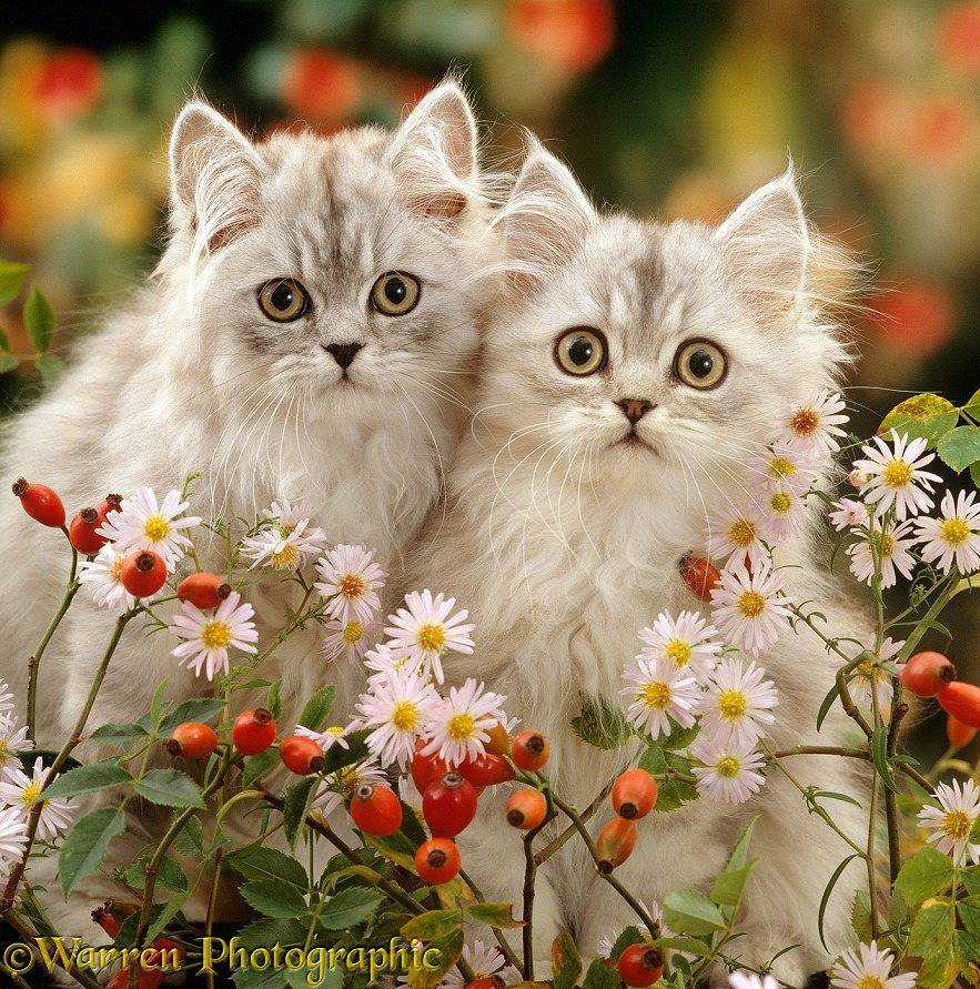 Two Silver tabby Persian kittens among Michaelmas daisies and Rose hips