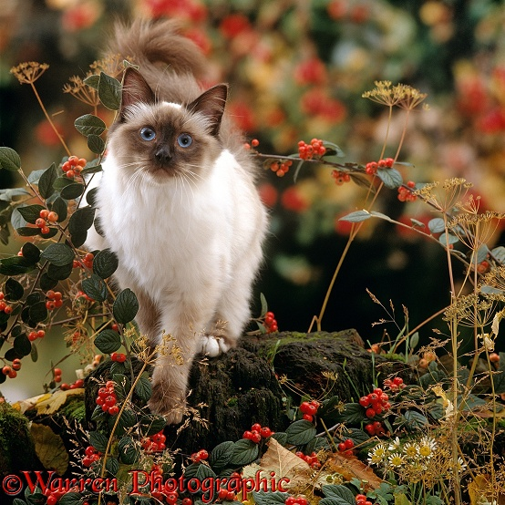 Young Birman cat among Cotoneaster berries and Ground elder seedheads