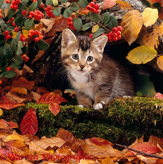 Tabby kitten among autumn leaves and Cotoneaster berries