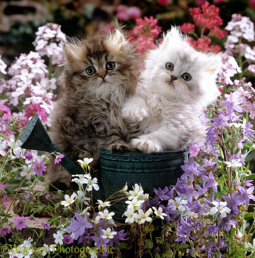 Chinchilla Persian Kittens With Flowers Photo Wp15906