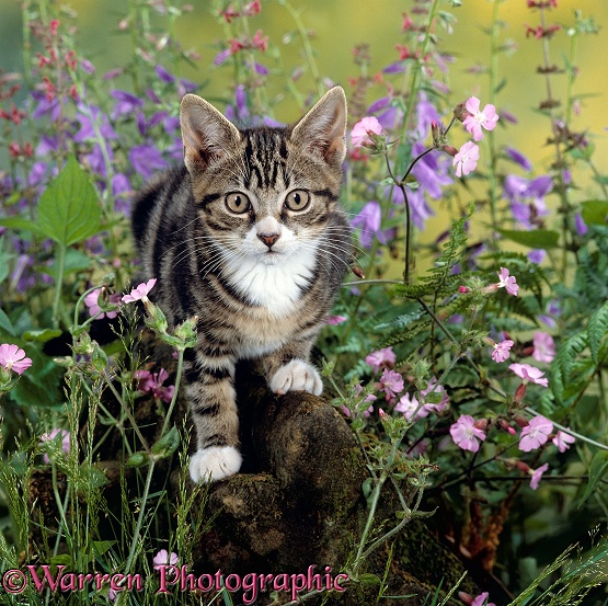 Tabby kitten among Red campion with Ivy-leaved bellflower and Hedge woundwort