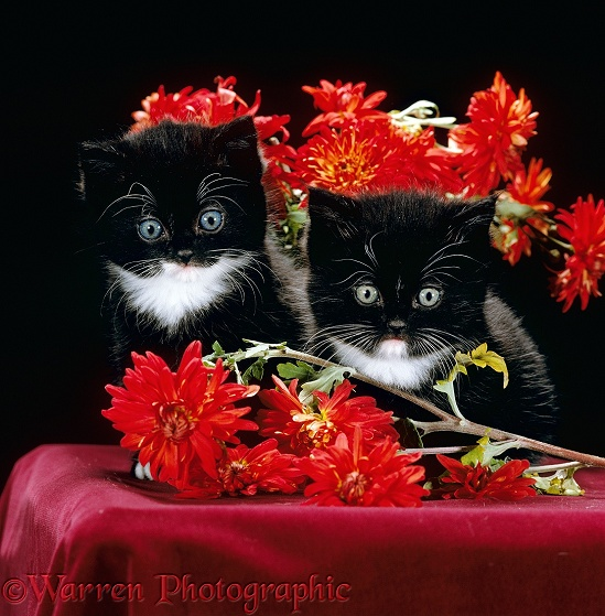 Black-and-white Persian-cross kittens with Chrysanthemums