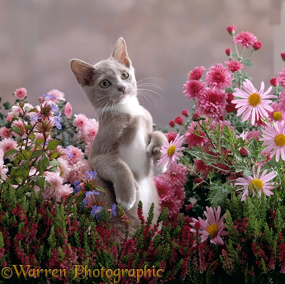 Lilac-and-white Burmese-cross kitten standing on rear legs among Pink chrysanthemums and Heather