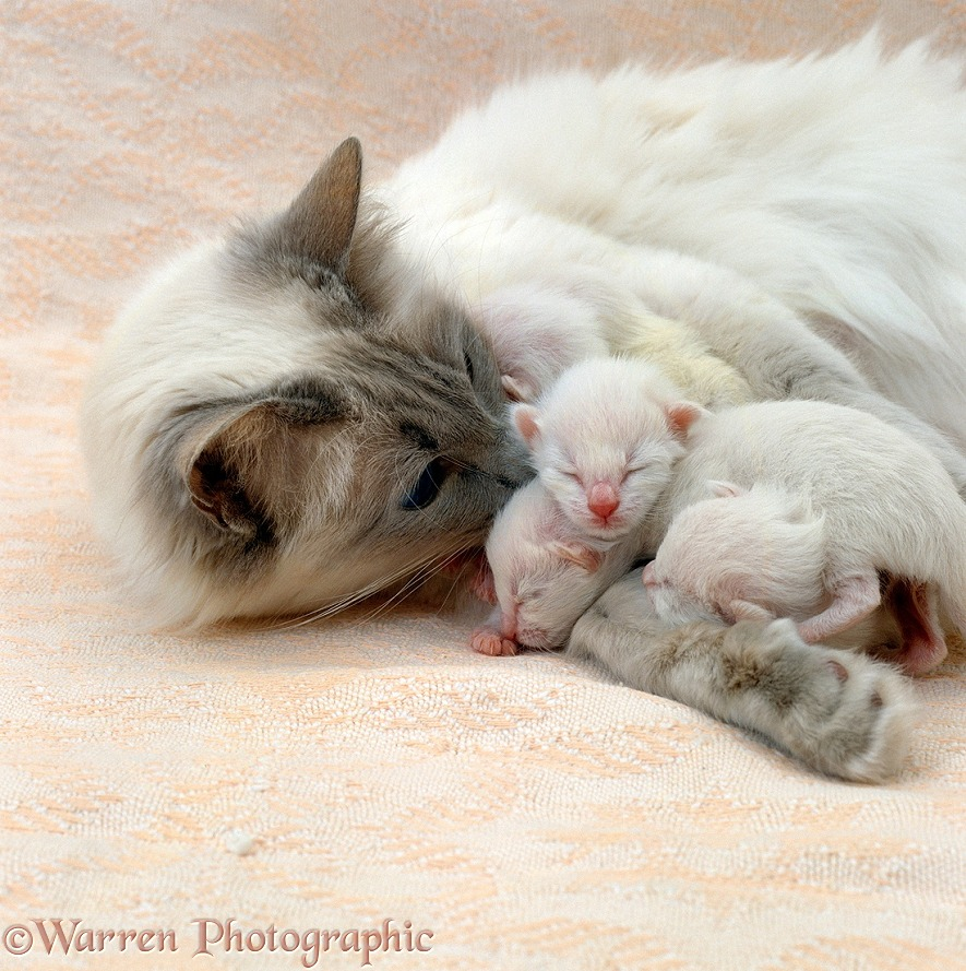 Balinese mother cat, Ryissa, with kittens, 3 days old