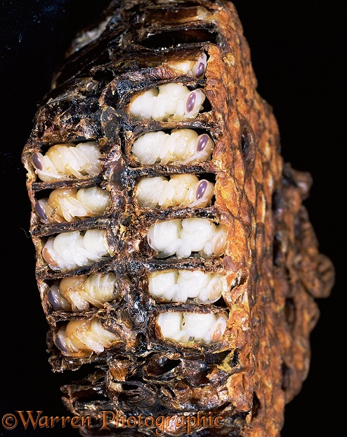 Honey Bee (Apis mellifera) worker pupae in sectioned comb