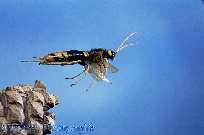 Giant Wood-wasp (Urocerus gigas) taking off