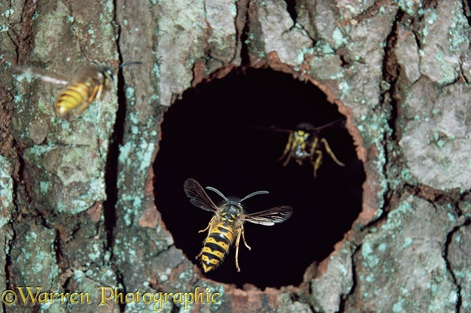Common Wasp (Vespula vulgaris) workers flying in and out of nest hole