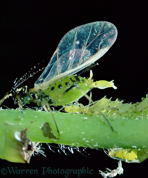 Winged female aphid (Aphididae) giving birth to young