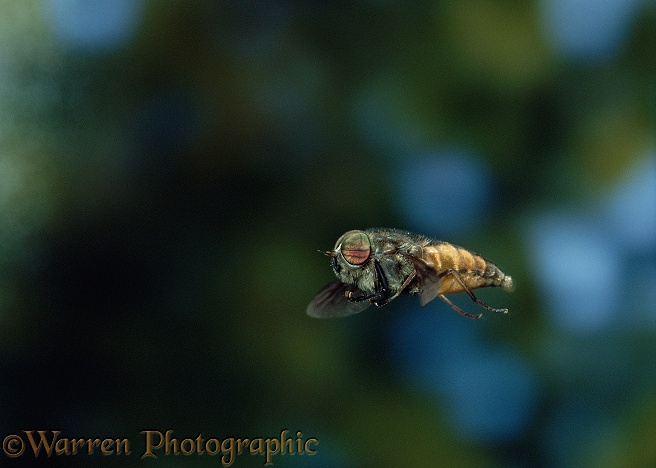 Horse Fly (Hybomitra distinguenda) male hovering, on the lookout for females