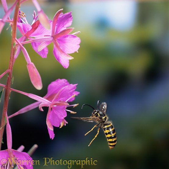 Saxony Wasp (Dolichovespula saxonica) drone flying to rosebay flower