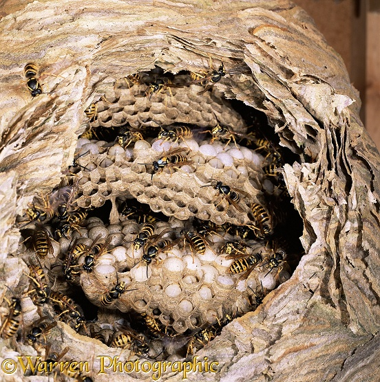 Nest of Saxony Wasp (Dolichovespula saxonica) exposed to show workers tending larvae and eggs