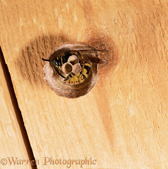 Tree Wasp (Dolichovespula sylvestris) queen sleeping in partially constructed nest, egg in cell.  Europe