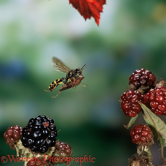 Field Digger Wasp (Mellinus arvensis) flying with fly prey