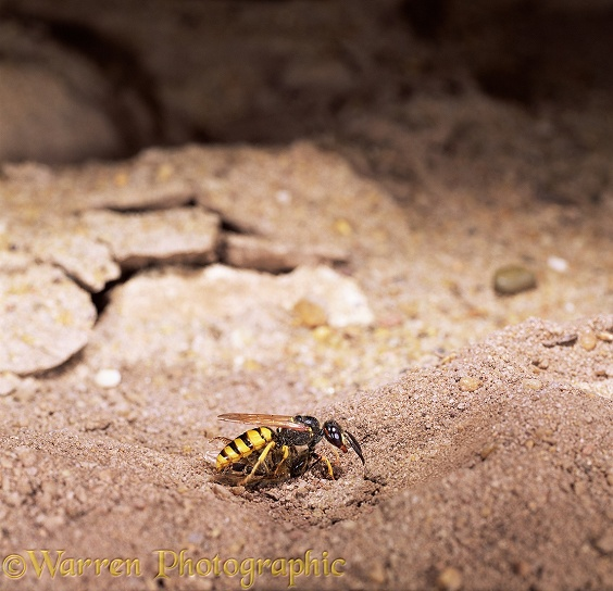 Female Bee-killer Wasp (Philanthus triangulum) with honey bee prey making nest hole