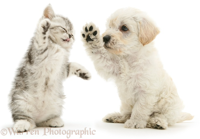 Woodle puppy and kitten boxing, white background