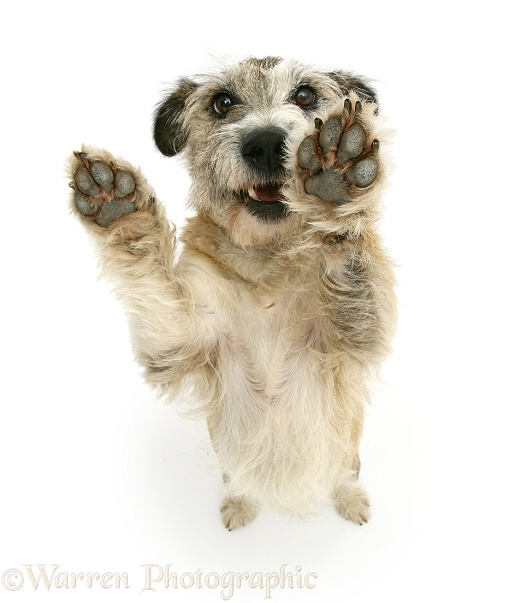 Patterdale x Jack Russell Terrier Jorge standing up and putting his paws up, from above, white background