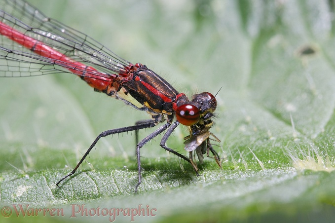 Large Red Damselfly (Pyrrhosoma nymphula) male feeding on insect prey