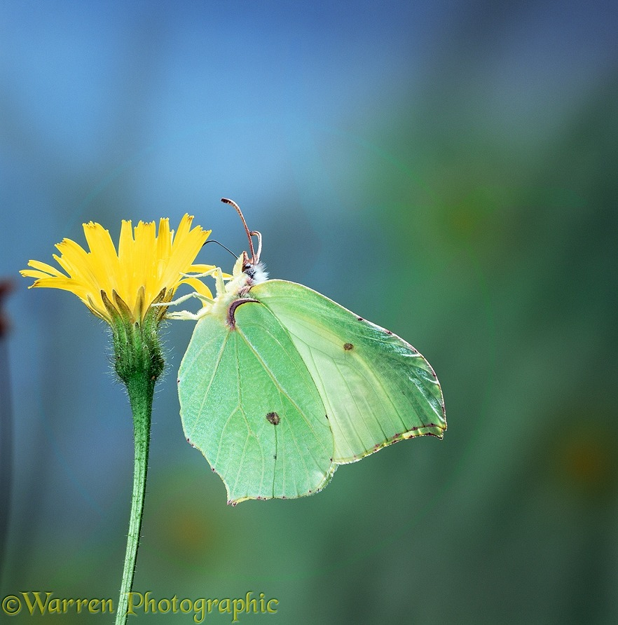 Brimstone butterfly (Gonepteryx rhamni) female feeding on hawkweed