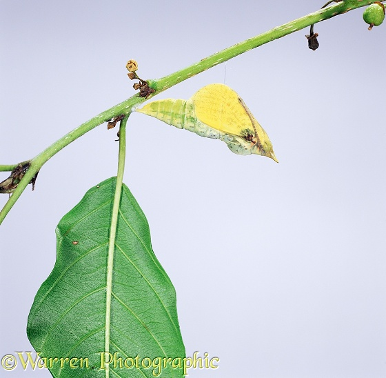 Brimstone Butterfly (Gonepteryx rhamni) pupa about to hatch. Sequence 1/4, white background