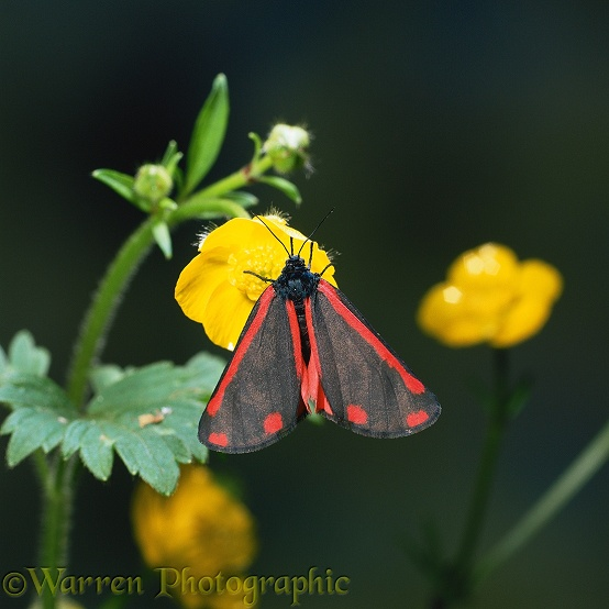 Cinnabar moth (Tyria jacobaeae) on buttercup