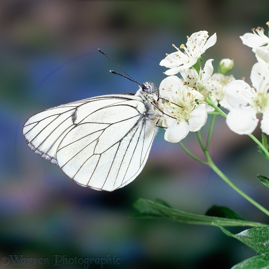 Black veined white butterfly (Aporia crataegi) on hawthorn flowers