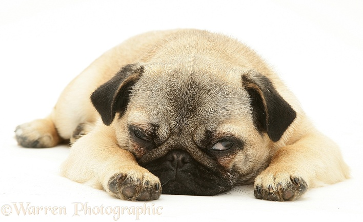 Fawn Pug bitch, Franky, lying with chin on floor, white background