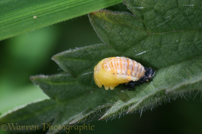 Seven-spot Ladybird (Coccinella 7-punctata) newly-formed pupa on nettle leaf