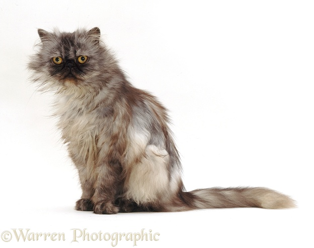 Smoke Tabby-tortoiseshell Persian female cat, Portia, white background