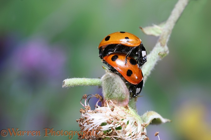 Seven-spot Ladybird (Coccinella 7-punctata) mating pair on bramble