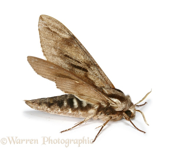 Pine Hawkmoth (Sphinx pinastri) warming up in preparation for flight, white background
