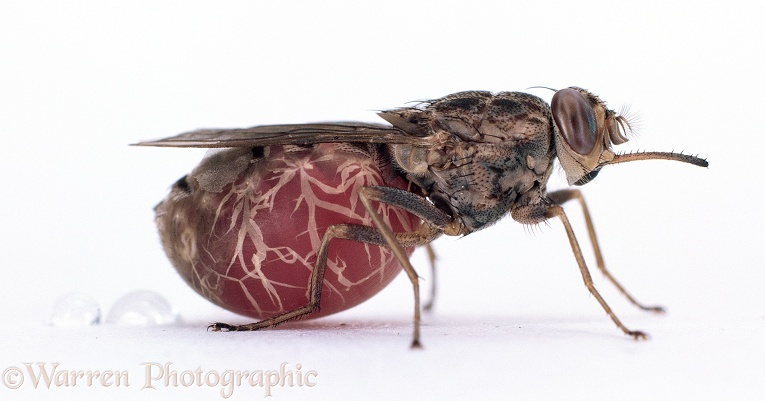 Tsetse Fly (Glossina morsitans) excreting fluid after blood meal.  Africa, white background