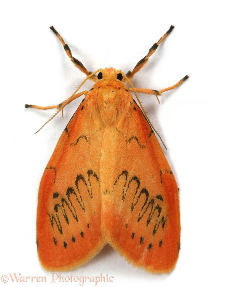 Rosy Footman Moth
