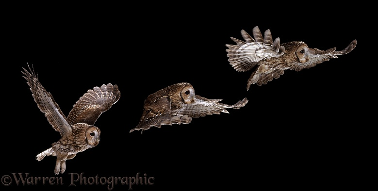 Tawny Owl (Strix aluco) flight sequence