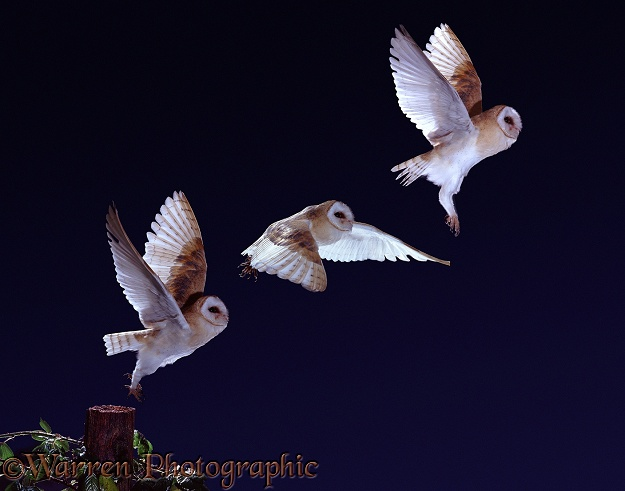 Barn Owl (Tyto alba) taking off from a fencepost - flight sequence