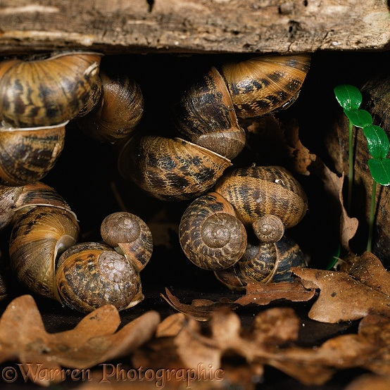Garden Snails (Helix aspersa) hibernating in a sheltered alcove beneath a log