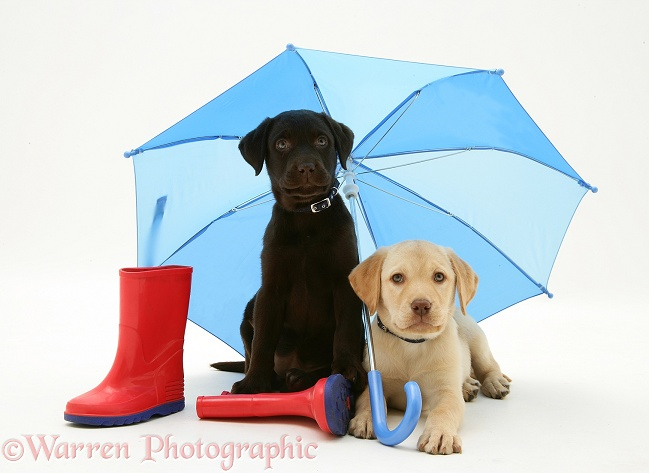 Yellow and Chocolate Retriever pups with wellies under a blue umbrella, white background