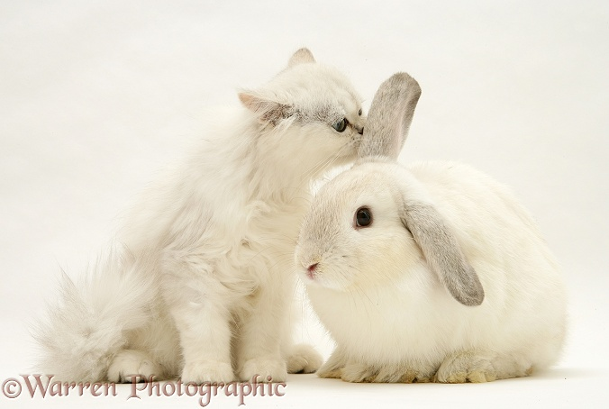 White cat and white rabbit