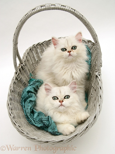 Two white Chinchilla kittens in a basket, white background