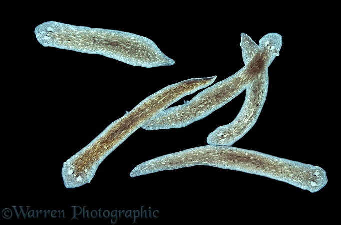 Group of freshwater Flatworms (Dugesia tigrina)