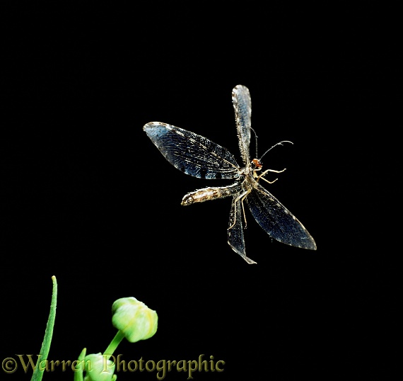 Giant Lacewing (Osmylus fulvicephalus) taking off.  Europe