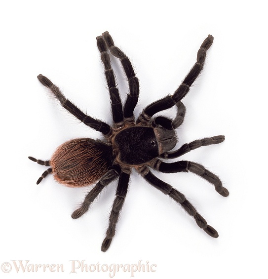 Red Rump Tarantula (Brachypelma vagans).  Central America, white background